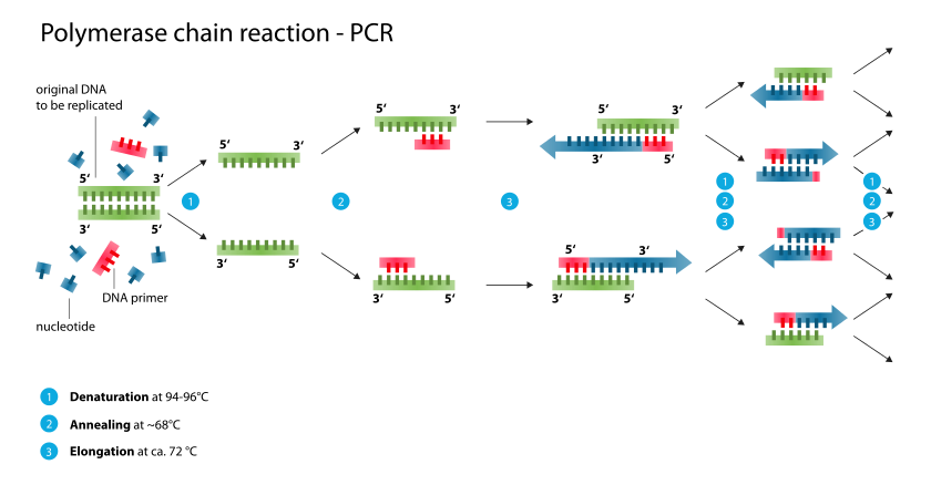 Polymerase_chain_reaction_svg