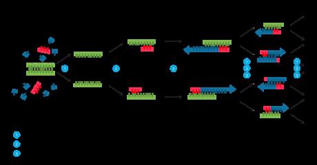 Polymerase_chain_reaction_svg